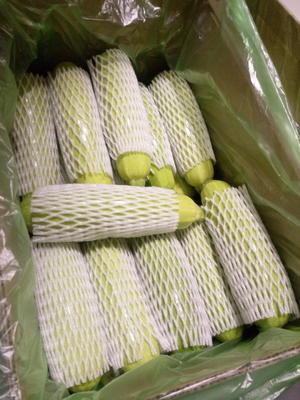 山东德州平原县绿油西葫芦 0.6~0.8斤