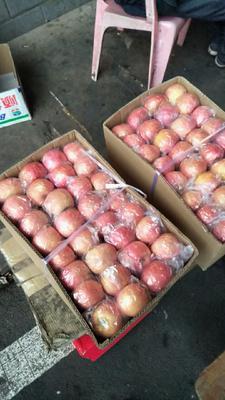 湖南衡阳祁东县红富士苹果 纸袋 条红 70mm以上