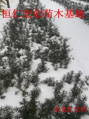 辽宁本溪桓仁满族自治县东北红豆杉 0.5~1米