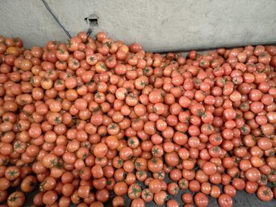 辽宁朝阳北票市硬粉番茄 不打冷 硬粉 通货