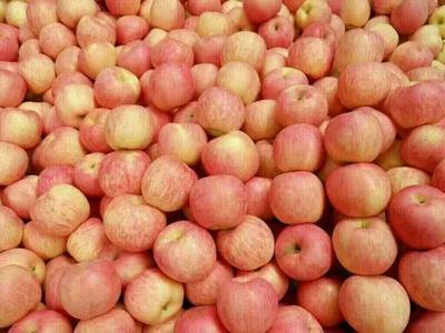 山东临沂沂水县红富士苹果 纸袋 条红 75mm以上