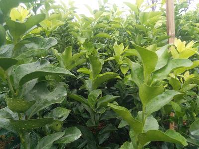 这是一张关于沙糖桔苗 嫁接苗 0.35~0.5米的产品图片