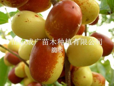 山东临沂平邑县酥脆枣苗