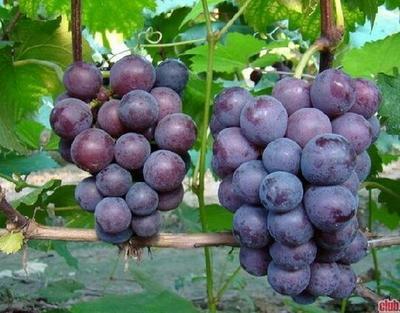 新疆博尔塔拉博乐市美国红提 10%以下 1次果 0.8-1斤