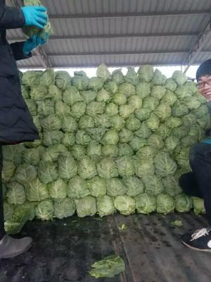 山东临沂郯城县铁头圆包菜 1.0~1.5斤