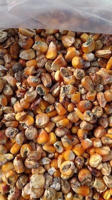 河南许昌许昌县玉米干粮 霉变>2% 杂质很少