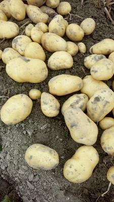 广东惠州惠东县荷兰15号土豆 3两以上