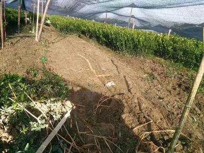 这是一张关于南丰蜜桔苗 嫁接苗 0.5~1米的产品图片
