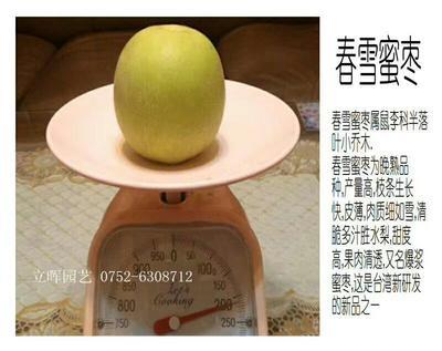 广东惠州博罗县春雪蜜枣苗