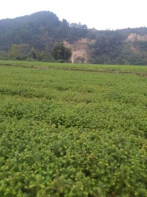 这是一张关于杉木树苗的产品图片