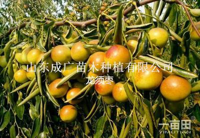 山东临沂平邑县龙须枣苗