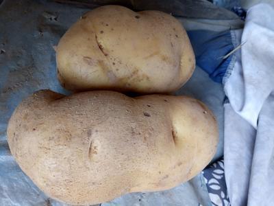 河南安阳滑县荷兰15号土豆 4两以上