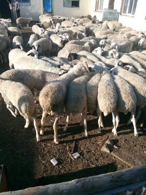内蒙古呼伦贝尔满洲里市白条羊 生肉