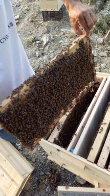 贵州毕节七星关区中蜂