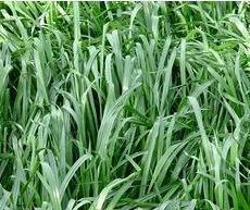 这是一张关于高丹草种子的产品图片