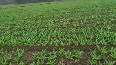这是一张关于青香油麦菜 20~25cm以上的产品图片