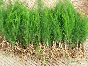 这是一张关于芦笋种子的产品图片