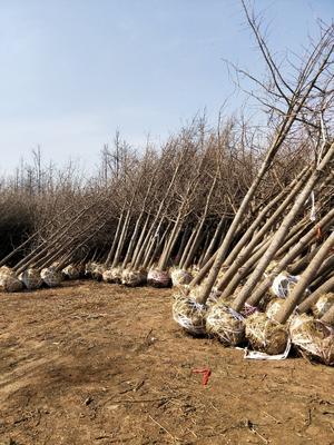 这是一张关于白果树的产品图片