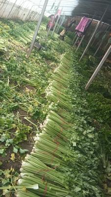 山东省菏泽市曹县法国皇后芹菜 60cm以上 大棚种植 1.5~2.0斤