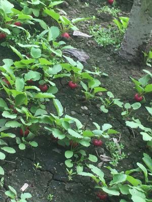 天津西青樱桃萝卜 0.2斤以下