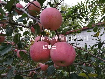 山东临沂平邑县红富士苹果苗 1~1.5米