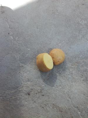 甘肃定西临洮县陇薯10号 2~4两