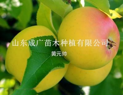 山东临沂平邑县元帅系苹果苗 1~1.5米