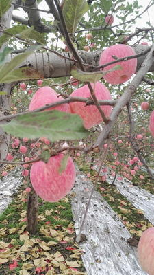 陕西延安富县红富士苹果 纸袋 条红 70mm以上
