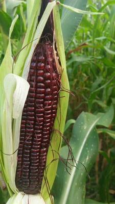 这是一张关于玉米种子的产品图片