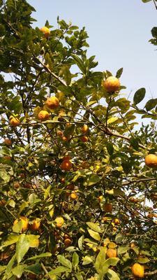 广西玉林兴业县黄柠檬 1.6 - 2两