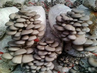 这是一张关于鲜平菇 3-5cm 厚 浅灰色的产品图片