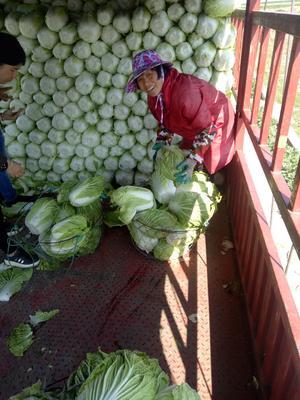浙江台州温岭市青杂三号白菜 3~6斤 净菜