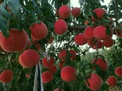 山东泰安岱岳区秋彤桃树苗 1~1.5米