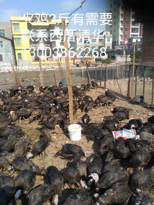 这是一张关于青铜火鸡 2斤以下的产品图片