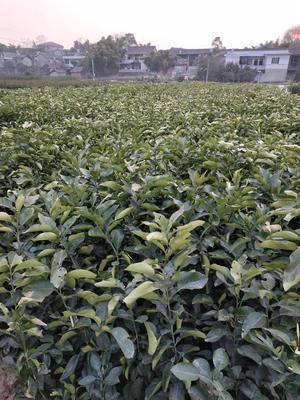 四川成都成华区红心柚 嫁接苗 0.35~0.5米