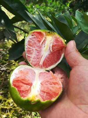 广西来宾兴宾区沙糖桔 8cm以上 1.5 - 2两