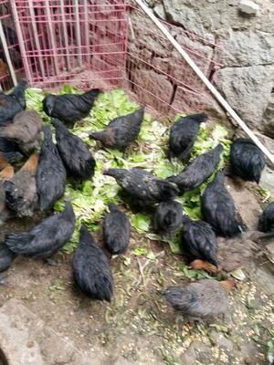 福建泉州鲤城区五黑鸡 统货 6月以下 全散养 2-3斤