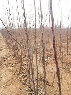 河北石家庄赞皇县红富士苹果苗 1~1.5米