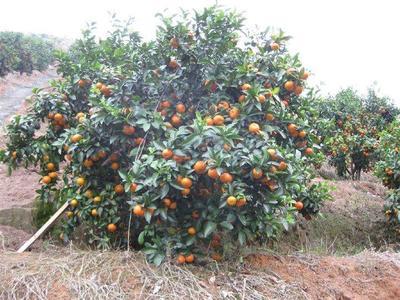 广西桂林叠彩区沙糖桔 5.5 - 6cm 1 - 1.5两