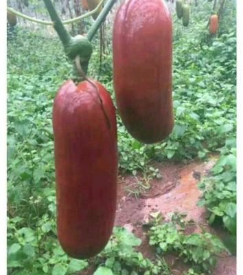 云南省西双版纳傣族自治州景洪市香如蜜种子