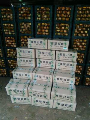 湖南怀化芷江侗族自治县冰糖橙 55.0mm 4-8两