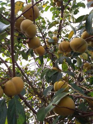 这是一张关于富有柿子苗的产品图片