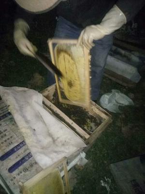 四川成都崇州市中蜂