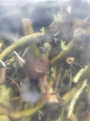 这是一张关于空心菜老藤 40 ~ 45cm的产品图片