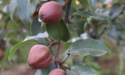 这是一张关于红梨苗 0.5~1米的产品图片