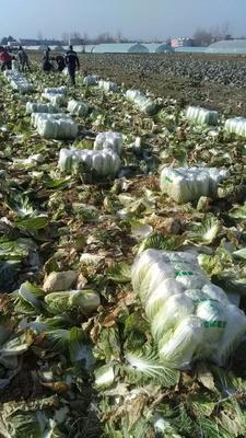这是一张关于黄心大白菜 3~6斤 净菜的产品图片