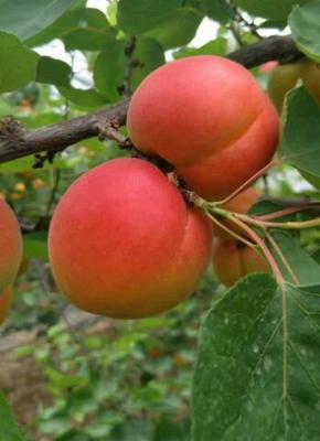 这是一张关于丰园红杏苗的产品图片