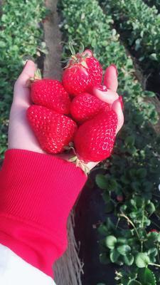 辽宁丹东东港市红颜草莓 30克以上