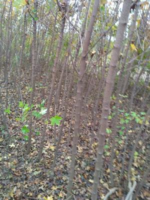 这是一张关于黄金梨树苗 1~1.5米的产品图片