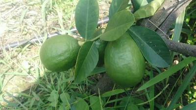 广西贵港桂平市香水柠檬 2 - 2.6两